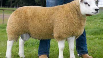 Scozia: venduta Deveronvale Perfection, la pecora da 260.000 Euro