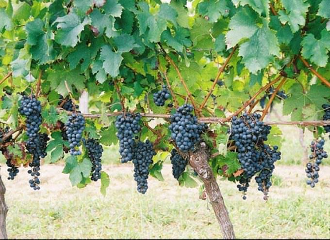 I numeri del vino: Il 10% dei lavoratori vitivinicoli è costituito da immigrati
