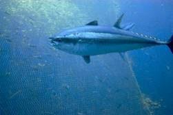 Pesca, al via la campagna del tonno rosso