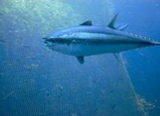 Oceana e Marviva chiedono al governo italiano di dare il suo sostegno all' introduzione del tonno rosso tra le specie protette dalla Cites