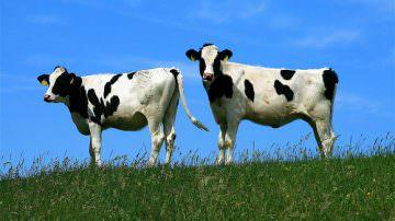 Il latte migliore? Quello delle mucche al pascolo