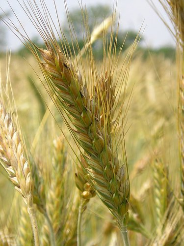 Confagricoltura: Calano le semine di cereali dopo il tonfo del prezzo sul mercato