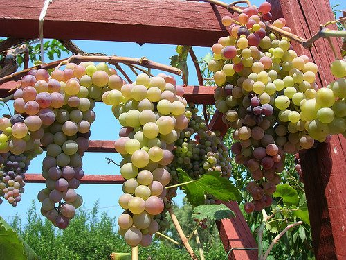 """Marino (RM): A Ottobre prende il via la """"Sagra dell'uva"""""""