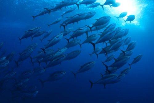 Pesca: Per Zaia il Tonno rosso non è una specie in via d'estinzione