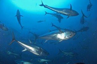 Tonno rosso, l'UE favorevole allo stop della pesca