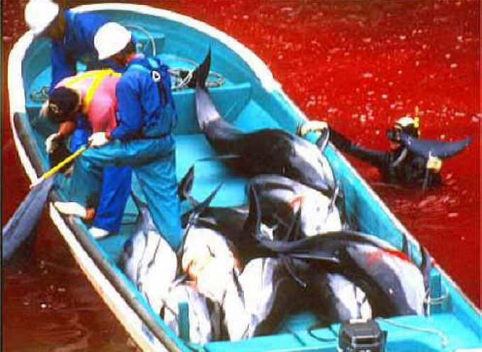 Giappone, un mare rosso sangue: ecco il massacro di delfini e balene
