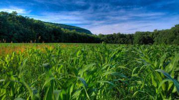 Diabrotica all'attacco, 56 mld di euro di danni alle piantagioni di mais