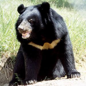 Giappone, la furia dell'orso: quattro persone ferite