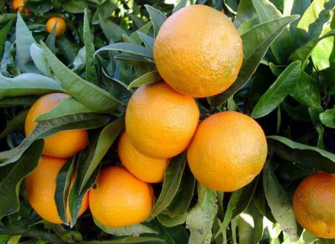 Maltempo: Coldiretti, clementine di Calabria IGP sott'acqua