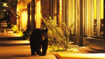 Colorado: gli orsi invadono Aspen
