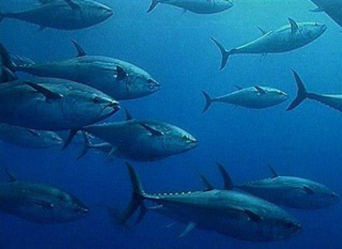 Ue: I neocommissari concordano sulla necessità di tutelare il Tonno rosso