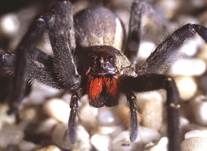 Sud America: Viagra naturale dal veleno di ragno