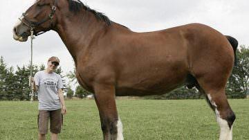 Canada: ecco Poe, il cavallo gigante