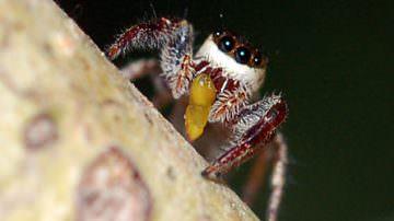 """Ecco il """"Bagheera Kiplingi"""" l'unico ragno vegetariano del mondo"""