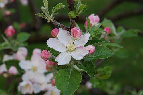 Agricoltura: Le ricerche riguardanti gli scopazzi del melo stanno trovando consenso anche all'estero
