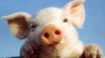 GOOD 2009 la Fiera della Qualità a Tavola: la filiera del maiale