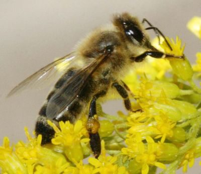 Apicoltura: miele lunigiana DOP, aperti i termini per la certificazione