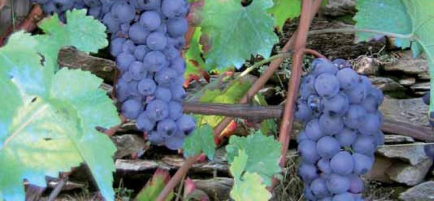 Il vitigno Accardina a Montaldo Mondovì