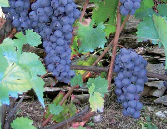 Il vitigno accardina a montaldo mondov for Nicchia sinonimo
