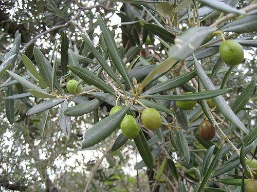 Magione (PG): Giornata nazionale della raccolta meccanizzata delle olive