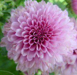 "Fiori: per Ognissanti Crisantemi Made in Versilia per ""aiutare"" florovivaismo locale"