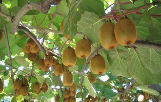 È epidemia per le produzioni italiane di kiwi