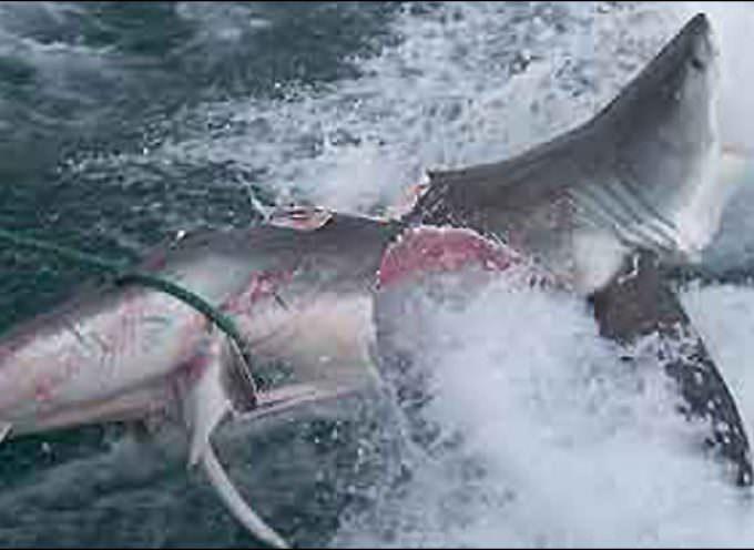 Australia, l'incubo dello squalo gigante