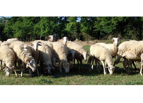 "Le signore della pecora zerasca su ""Mela Verde"""
