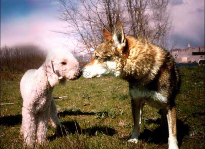 Predatori: i lupi fanno razzie di agnello di Zeri