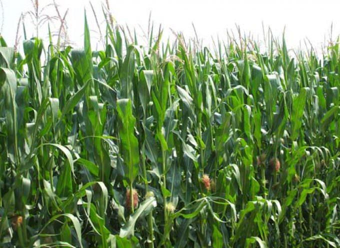 """""""Le quotazioni dei cereali sono sotto i costi di produzione, a questi prezzi i campi resteranno incolti"""""""