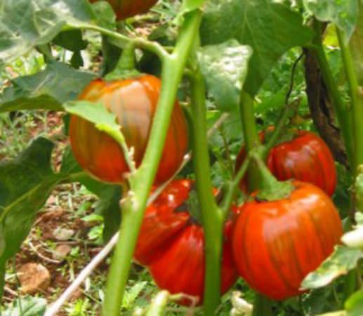 Basilicata: Comincia l'iter per la Dop della melanzana rossa