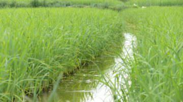 Fao: Coldiretti, -30% prezzo riso nei campi che sale del 6% al consumo