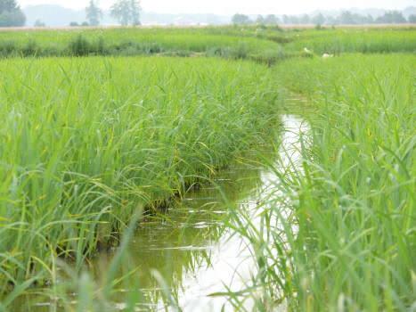 Giappone, un riso OGM resistente alla siccità