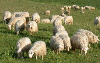 Terremoto: Coldiretti, dopo le case tornano anche le pecore