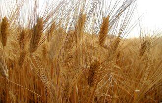 Dal grano al pane: a Pistoia rinasce l'antica filiera