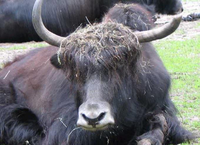 Veneto: Per tener puliti i boschi delle Dolomiti, arrivano gli Yak