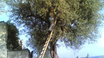 L'olio nuovo della Sicilia: comperiamolo direttamente dal produttore