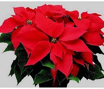"Natale: ""stelle"", nessun rincaro all'ingrosso"
