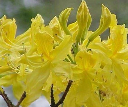 Il miele di rododendro pontico è velenoso