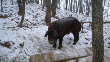 Emilia Romagna: Successo per il comparto suino Mora Romagnola