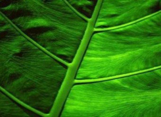 La clorofilla difende il fegato