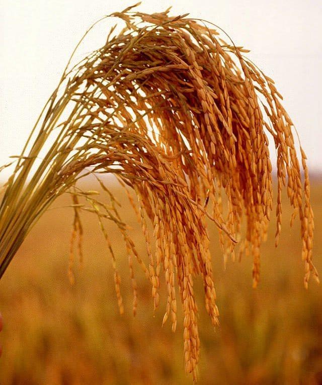 Allarme risicoltura: garantire il reddito dei coltivatori