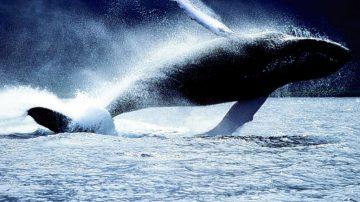 Groenlandia, gli ambientalisti attaccano: venduta ai turisti carne di balena