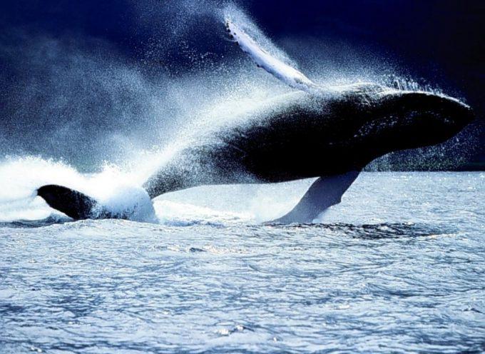 Amazon dice basta: niente più prodotti a base di balena