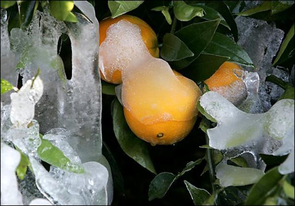 Ondata di gelo distrugge la produzione di arance della Florida