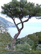 La corteccia di pino marittimo: medicina naturale contro le emorroidi
