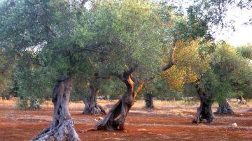 Afghanistan: sostituire l'oppio con l'olio d'oliva