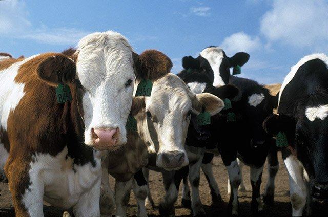 Torino: Lotta contro la blue tongue nei bovini e nei piccoli ruminanti
