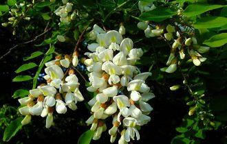 Frittata di fiori di acacia