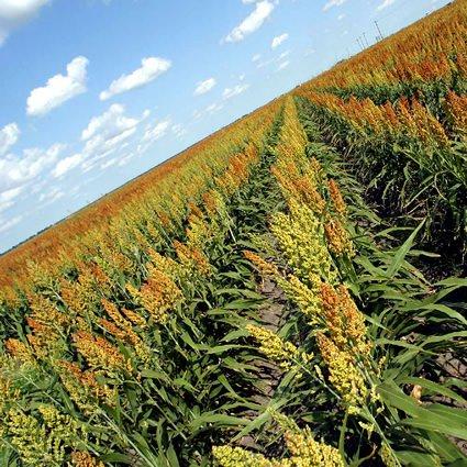 Agricoltura: Greenpeace chiede a Zaia di fermare l'Ogm in italia
